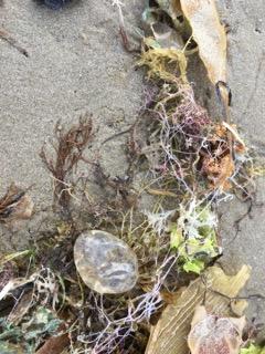 seaweed Vanessa