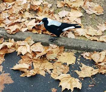 small-evening-magpie