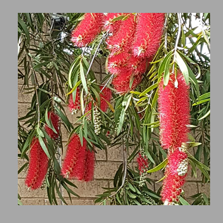 bottlebrush-framed
