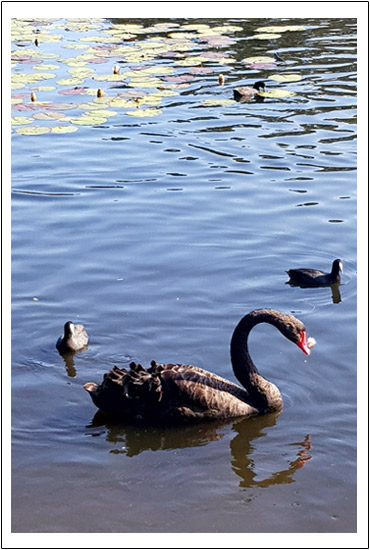swan-border-2