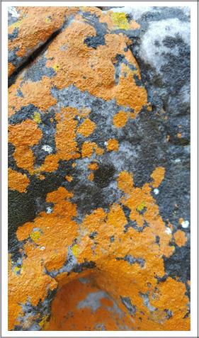 tangerine-lichen