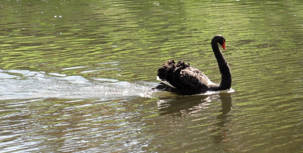 black-swan-Simon-haiku