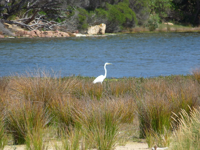 great egret2