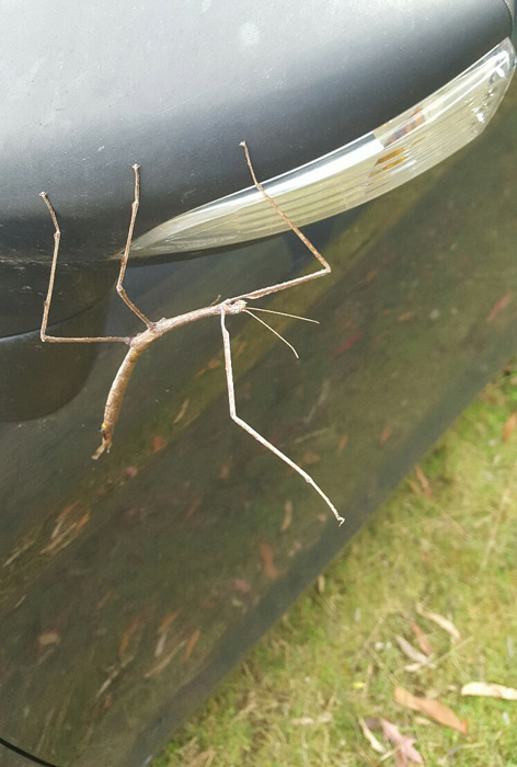 my-pet-stick-insect