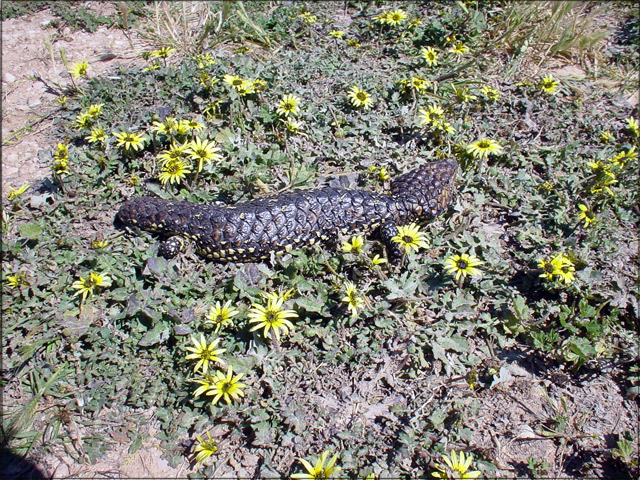 shingleback-lizardfor-web