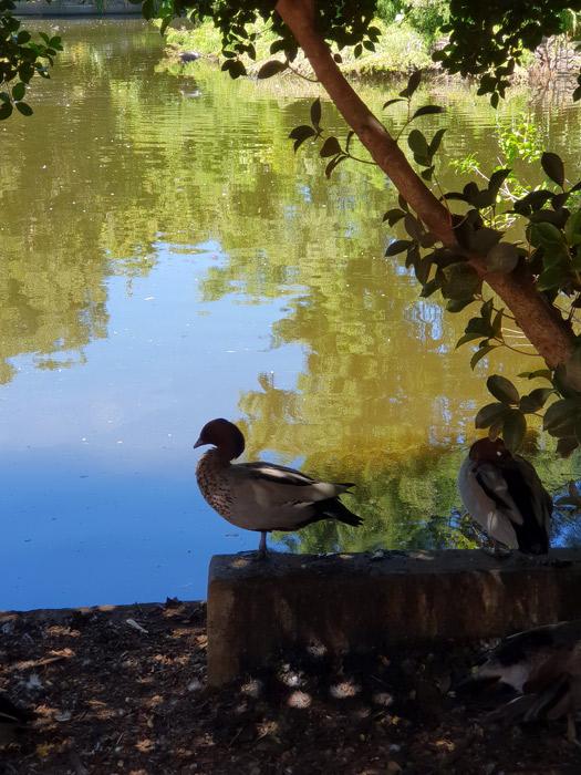 wood-ducks-Botanic-Gardens-Adelaidefor-web