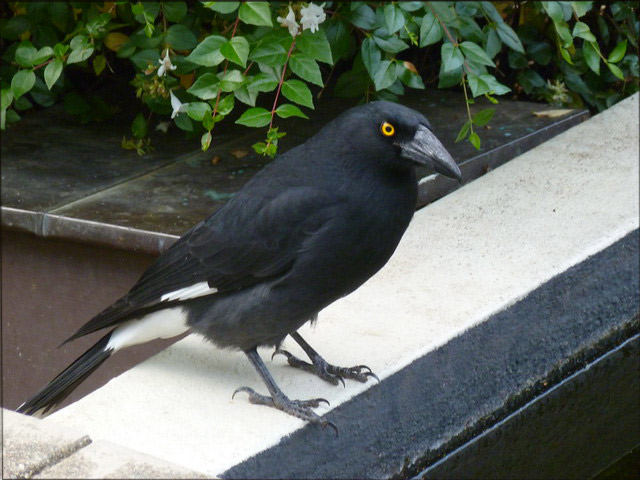 currawong-for-web