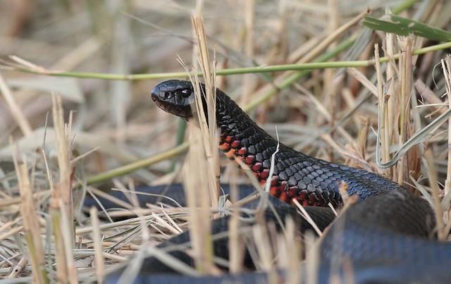 redbellied black snake