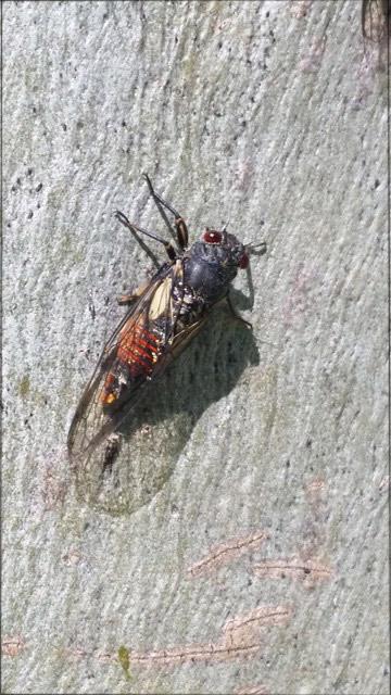 cicada-for-web