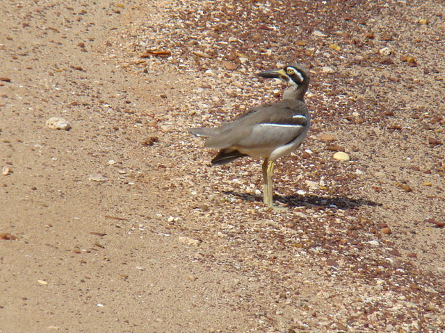 beach stone curlew