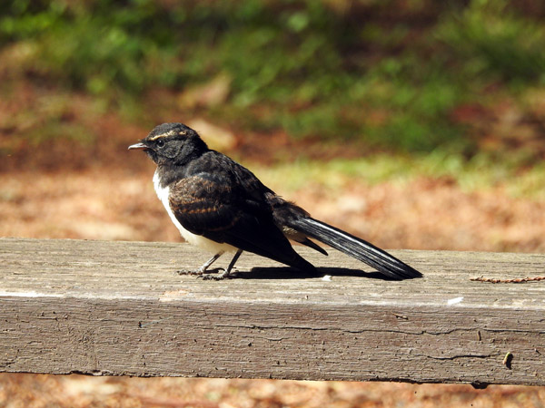 wagtail-for-web